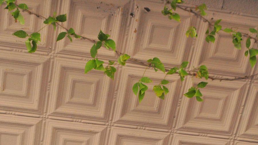 EyeEm Buildings Textures And Surfaces Ceiling Vine Green Leaves Eyeemfollowers Eyeemphotography Eyeem Plants Feeling Inspired Old Buildings