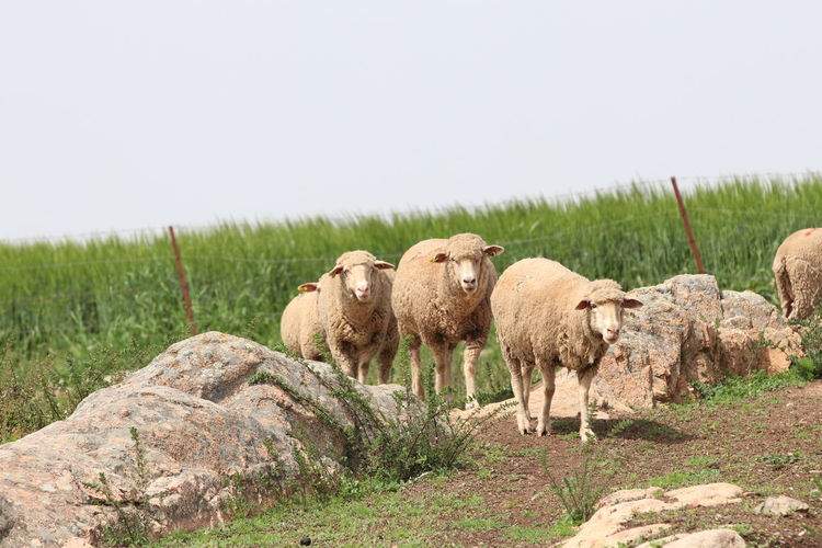 View of sheep on field against clear sky