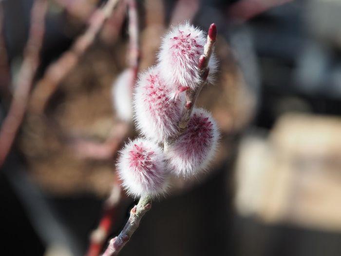 ピンクネコヤナギ Pink Salix Gracilistyla EyeEm Selects Nature Growth Focus On Foreground Close-up Outdoors Beauty In Nature Plant Day