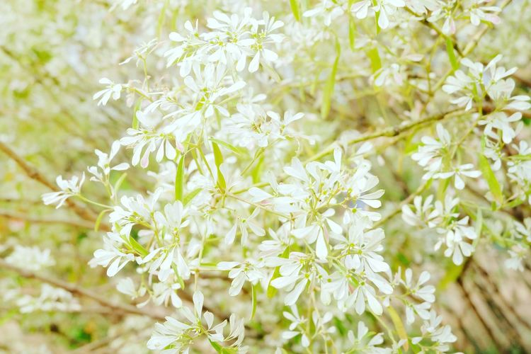 While leaves White Christmas Tree Beautiful Background Flower Head Flower Tree Springtime Blossom Branch White Color Botany Close-up Plant