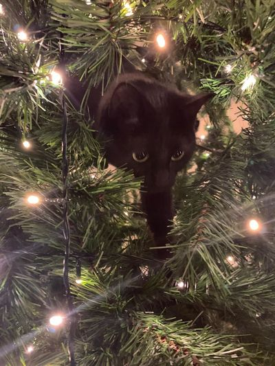 View of cat with illuminated christmas lights