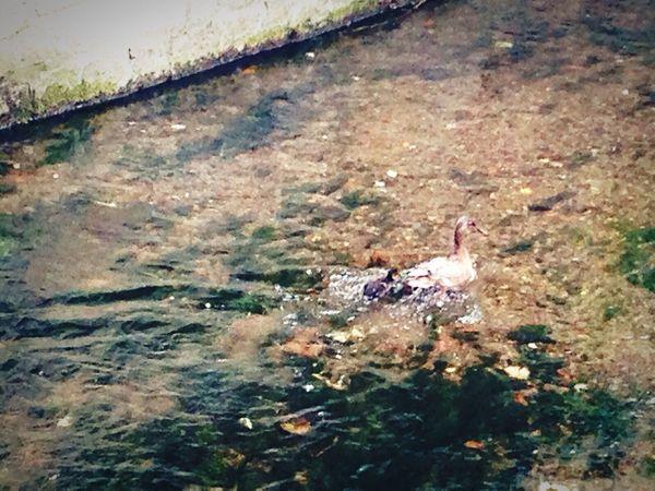 Mother duck & her kid ❤️ EyeEm Nature Lover EyeEm Best Shots - Nature Springtime Cuties <3