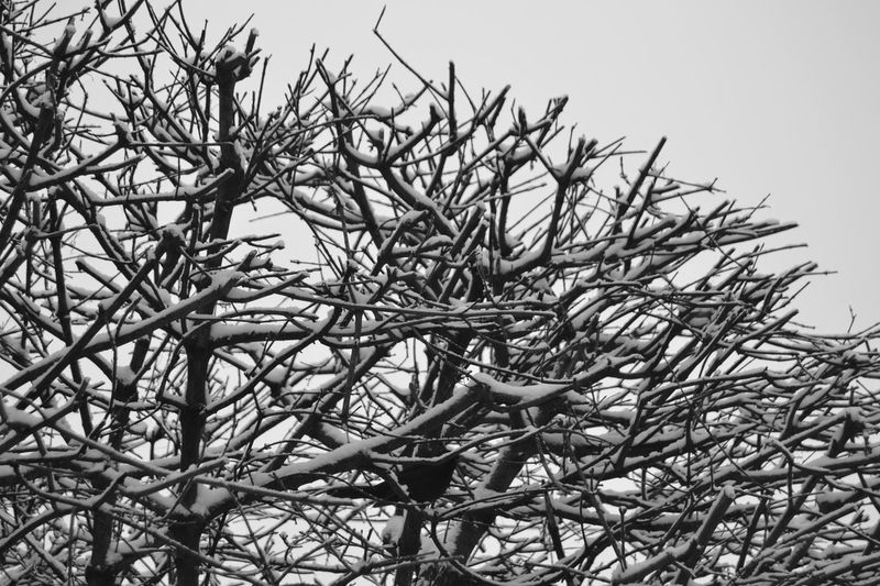 Beauty In Nature Blackbird Branch Branches Branches And Leaves Branches And Snow Branches Of Trees Blackandwhite Cold Days Day Grey Sky Growth Low Angle View Maple Tree Nature Nature Nature_collection No People Outdoors Sky Snow Covered Tree Where Is The Bird? Winter Trees Winterday