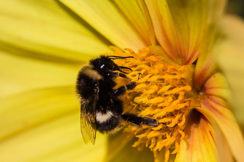 A bumblebee (also written bumble bee) is a member of the genus Bombus, part of Apidae, one of the bee families. This genus is the only extant group in the tribe Bombini, though a few extinct related genera (e.g., Calyptapis) are known from fossils. Over 250 species of bumblebee are known.[1] They are found primarily in higher altitudes or latitudes in the Northern Hemisphere, although they are also found in South America where a few lowland tropical species have been identified. European bumblebees have also been introduced to New Zealand and Tasmania. https://en.wikipedia.org/wiki/Bumblebee Bee Bumblebee Close-up Day Flower Flower Head Insect Petal Pollination Yellow