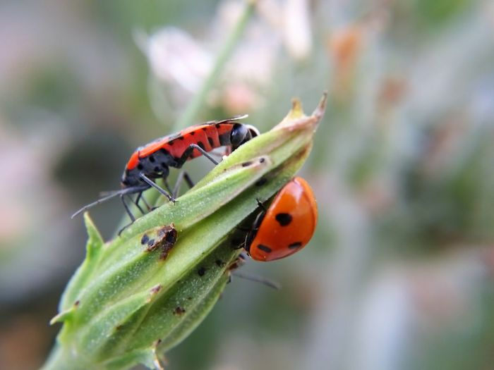 Outdoors Animal Themes Focus On Foreground Animals In The Wild Insect Growth Day Animal Wildlife Close-up One Animal No People Leaf Nature Plant Ladybug