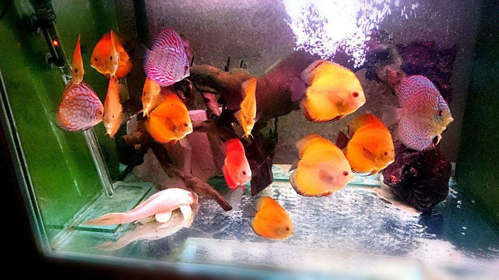 Discus Discus Fish Discusfish Aquarium Aquaria Tropical Fish Fishtank Fish Fish Tank