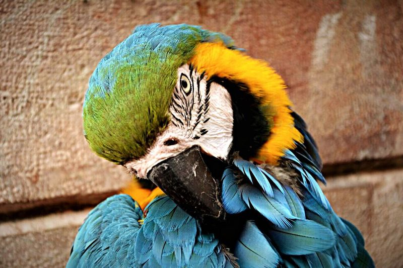 Close-up of gold and blue macaw against wall