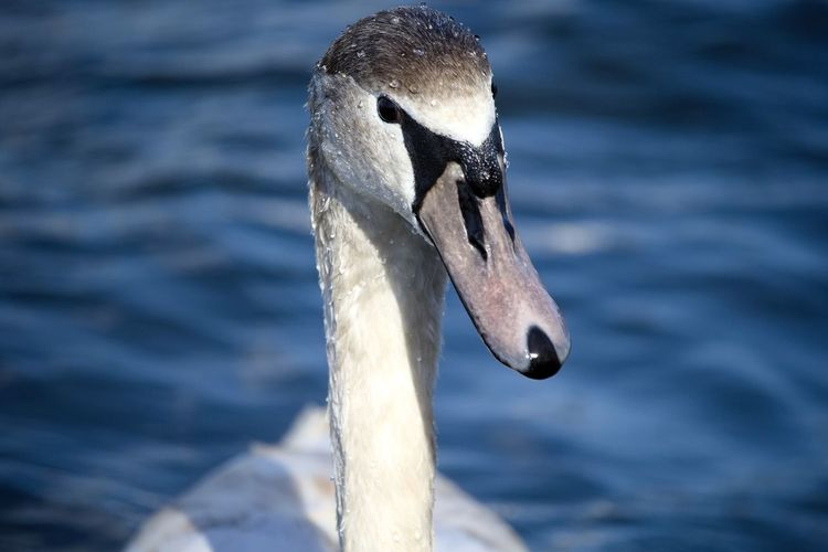 One Animal Bird Animal Themes Animals In The Wild Close-up Swimming Swan No People Animal Wildlife Beak Water Day Nature Outdoors EyeEm Best Shots - Nature EyeEmBestPics Photography Focus On Foreground Portrait Swans Swans On The Lake Animal Nature Water Drops Swantastic