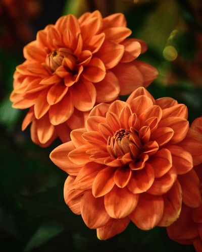 Flowering Plant Flower Petal Flower Head Close-up Vulnerability  Fragility Pollen Beauty In Nature Nature No People Orange Color Outdoors Day Dahlia Focus On Foreground Growth Plant Inflorescence Freshness