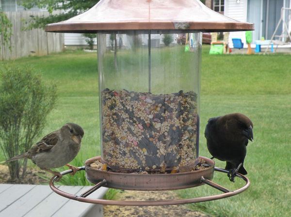 Birds at the bird feeder Bird Bird Feeder Birdfeeder Birds Brown Headed Cowbird Day Grass Grassy Green Color Lawn Nature No People Outdoors Wren