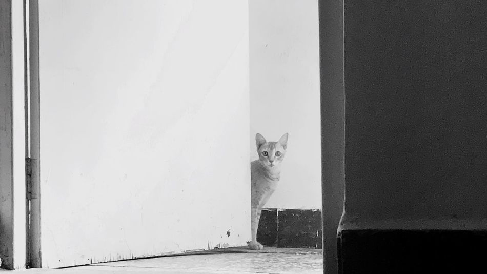 Domestic Cat Pets One Animal Domestic Animals Animal Themes Feline Cat Mammal Looking At Camera Portrait Door Indoors  Built Structure Day Architecture No People