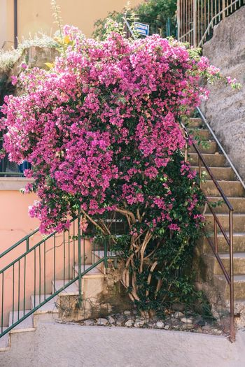Flower Growth Pink Color Beauty In Nature Plant Day Outdoors Cinque Terre Italia Village Street Travel Destinations Pink Pink Flower Bush Blossom Millennial Pink