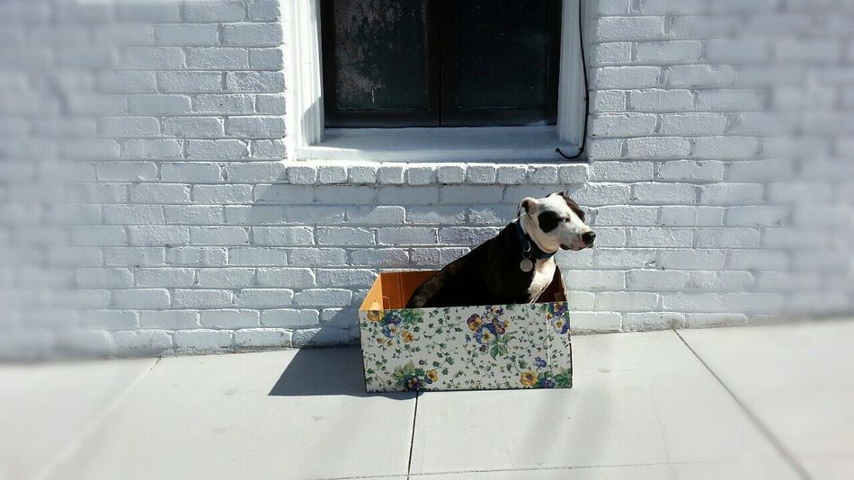 Pets Corner Spoon The Dog Box Staffy Pitbull