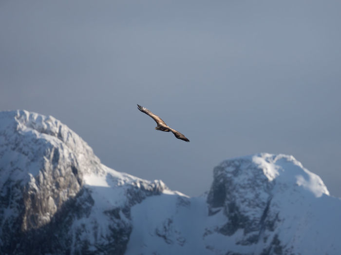 Bird flying over snowcapped mountains against sky