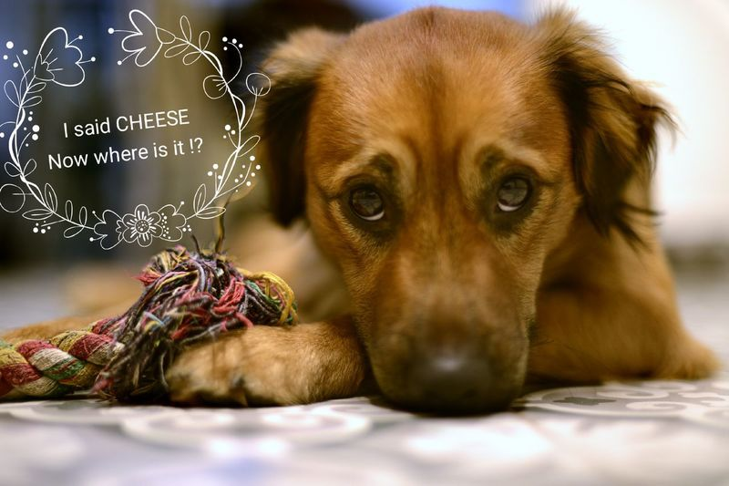 Pets Dog Animal Looking At Camera Portrait Gold Colored Cute Indoors  Domestic Animals Puppy Close-up Where Is My Cheese