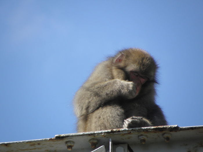 Low angle view of monkey on rock against clear blue sky