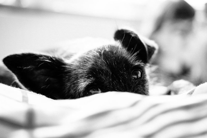 Domestic Animals Dog Mammal Animal Themes One Animal Animal Domestic Pets Relaxation Vertebrate Selective Focus Cat Furniture Resting Close-up Lying Down Indoors  Feline Young Animal Bed No People Small Animal Head  Whisker Blackandwhite