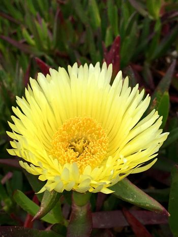 Iceplant Blossom at Beach Iceplant ICE PLANT Blossom Flower Beach Flower Beachphotography Beach Photography Beach Life Beach Yellow Flower Yellow Flower Yellow Yellow Flowers Nature Outdoors Macro Nature Sonoma County Coast Macro_flower Bodega Bay Iphonephotography IPhone Photography IPhoneography Macro_collection Macro Photography Macro Beauty
