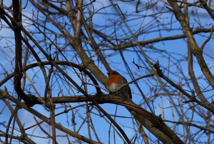 Animal Themes Animals In The Wild Bare Tree Bird Branch European Robin ( Erithacus Rubecula) Feathers Focus On Foreground Focus On The Foreground Growing Low Angle View Mystery Nature No People One Animal Outdoors Perching Protection Robin Robins Safety Song Birds Wildlife Winter Winter Bird