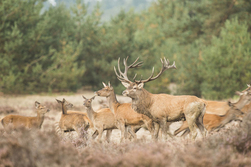 Herd of red deer with one stag male on the front in heatherland with trees on the background Rut Stag Red Deer Red Deer Stag Animal Wildlife Animals In The Wild Animal Themes Animal Deer Group Of Animals Herd Day Nature Field Tree No People