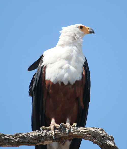 African Fish Eagle Bird Bird Of Prey Clear Sky Close-up Low Angle View One Animal Perching