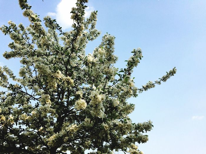 Happiness blooms from within Life In Germany Spring Flowers Springtime Deutschland Germany German EyeEmNewHere Cherry Blossoms Flower Plant Low Angle View Sky Growth Tree Beauty In Nature Nature Outdoors Sunlight