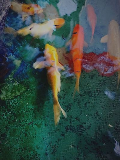 Carp Fish Small Fishes Swimming Water Animal Themes Multi Colored Koi Carp Animals In The Wild Close-up Carp No People Large Group Of Animals Underwater Day Sea Life Togetherness Nature Outdoors
