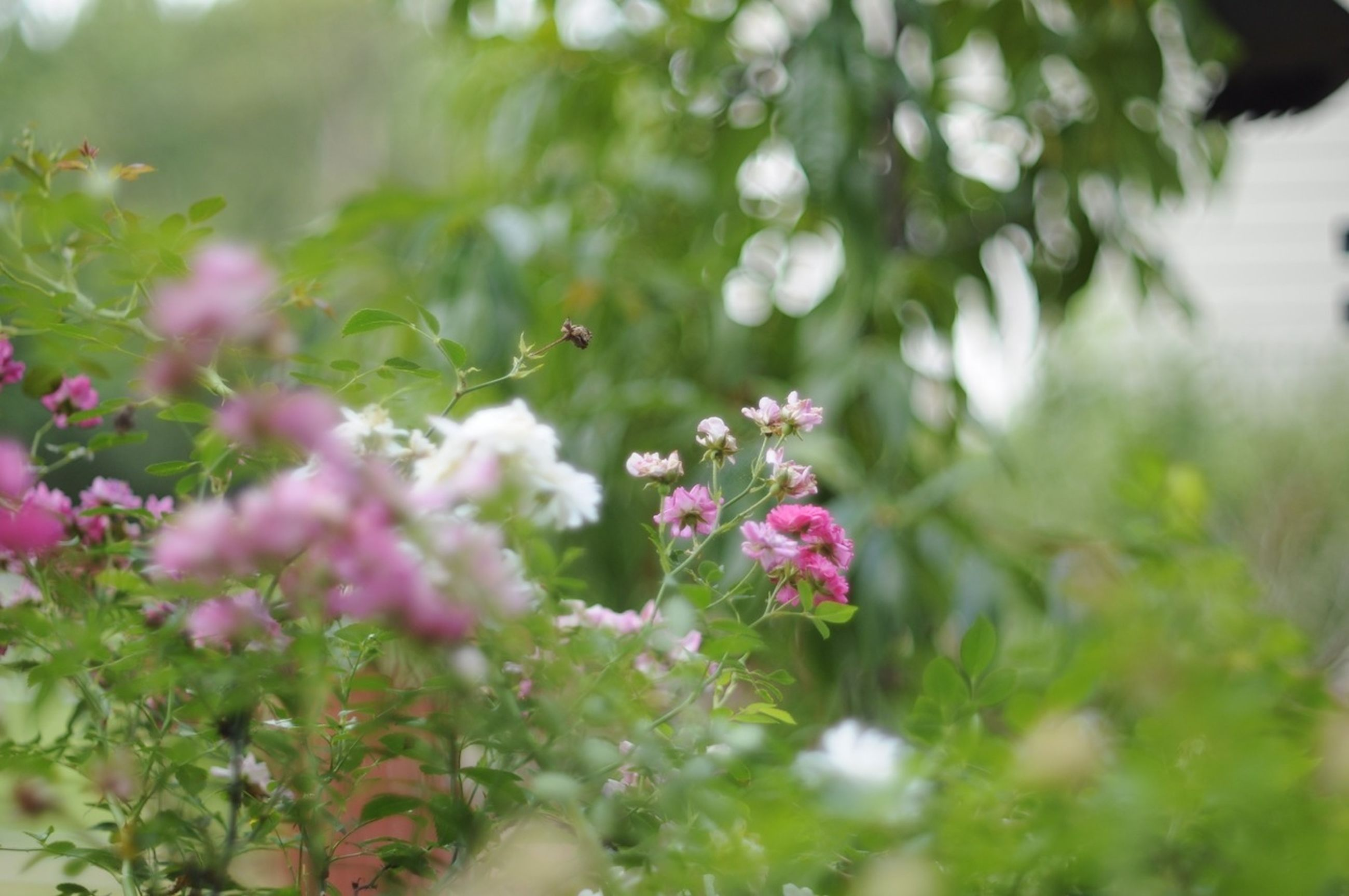 flower, growth, freshness, plant, focus on foreground, fragility, beauty in nature, nature, selective focus, close-up, leaf, petal, blooming, pink color, green color, stem, day, tree, outdoors, park - man made space