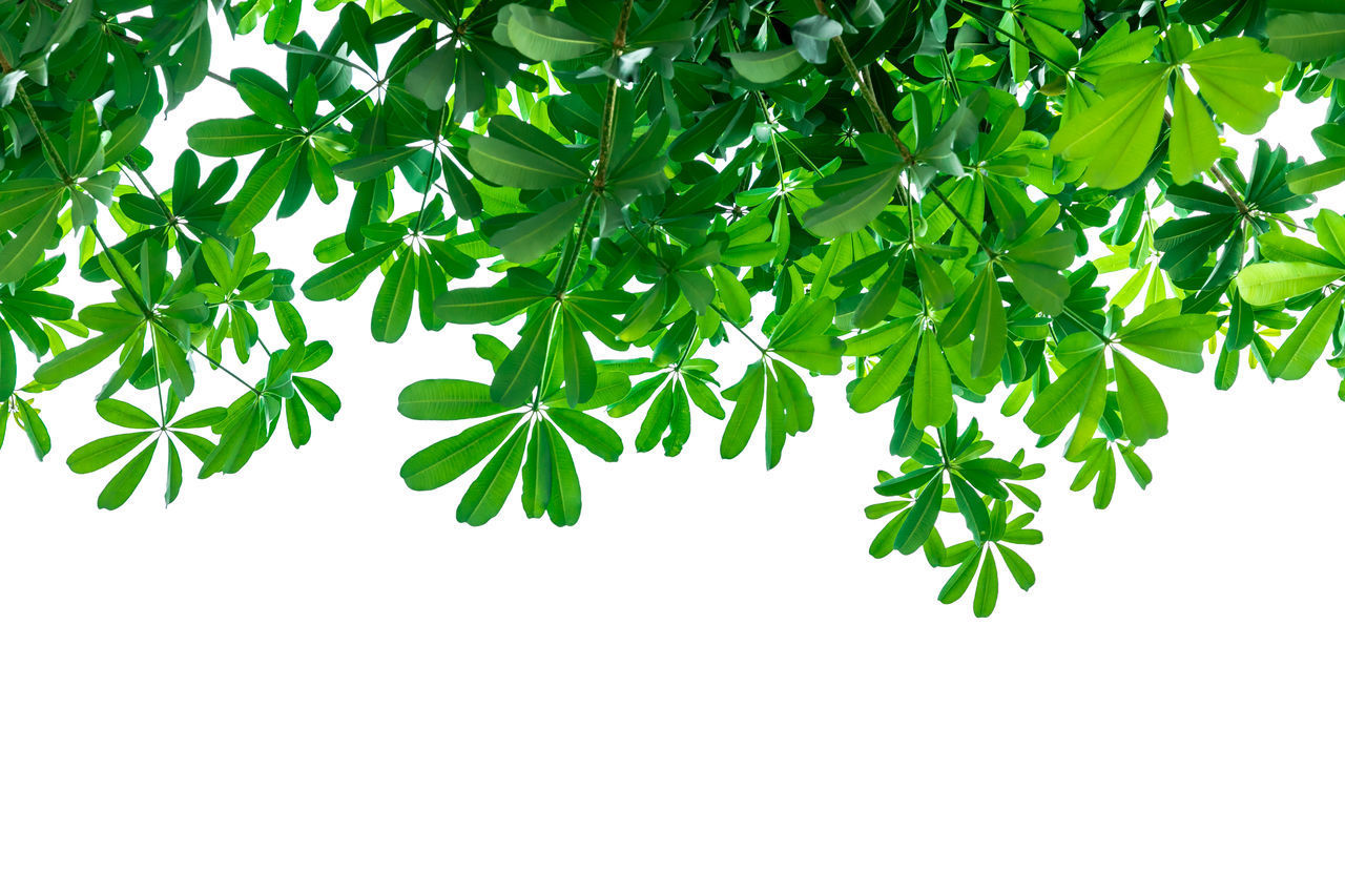CLOSE-UP OF FRESH GREEN LEAVES ON WHITE BACKGROUND