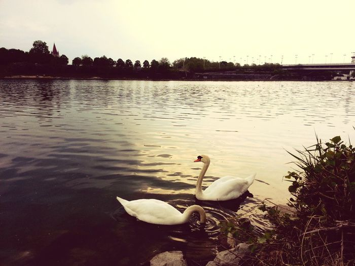 Animals Swans Swan Lake Date Spring Enjoying The View Enjoying The Date Happiness Flowers,Plants & Garden Special_shots