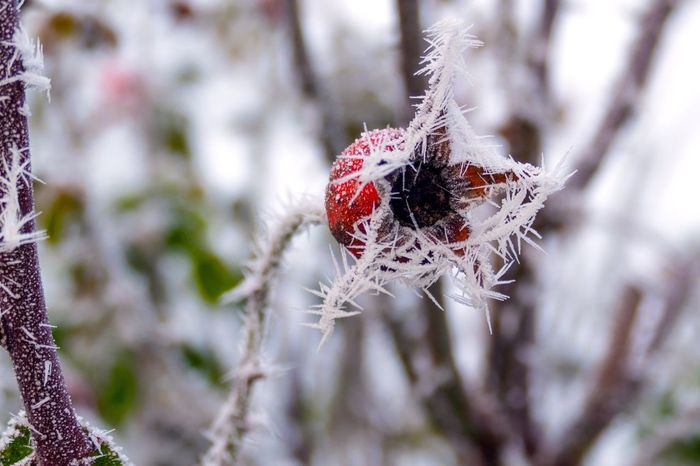 White Frost Photography Nature Photography Close-up Roses Autumn Autumn Colors Frost Ice Icecrystals Winter Wonderland Winter Freezing Beauty In Nature Photo Photooftheday Nature Close Up Hip Rose Hip