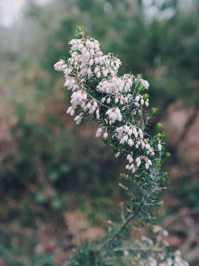 Flower Growth Nature Freshness Beauty In Nature White Color Tree Fragility Blossom Close-up Outdoors Day Flower Head Lilac