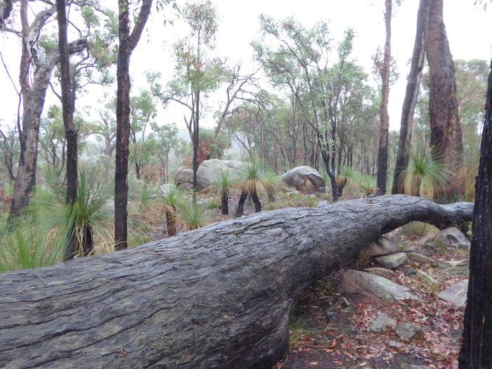 Australian Bushland Australian Landscape Big Log Eucalyptus Trees Fallen Tree Granite Boulders Grass Trees Growth Nature Outdoors Rocks And Timber Tree Tree Trunk