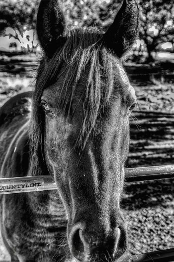 EyeEm Best Edits EyeEm Best Shots EyeEm Gallery Eyeembestpics Eyeem Gallery Photography Austin Texas EyeEmBestPics EyeEm Best Shots - Black + White For The Love Of Black And White Horse Love
