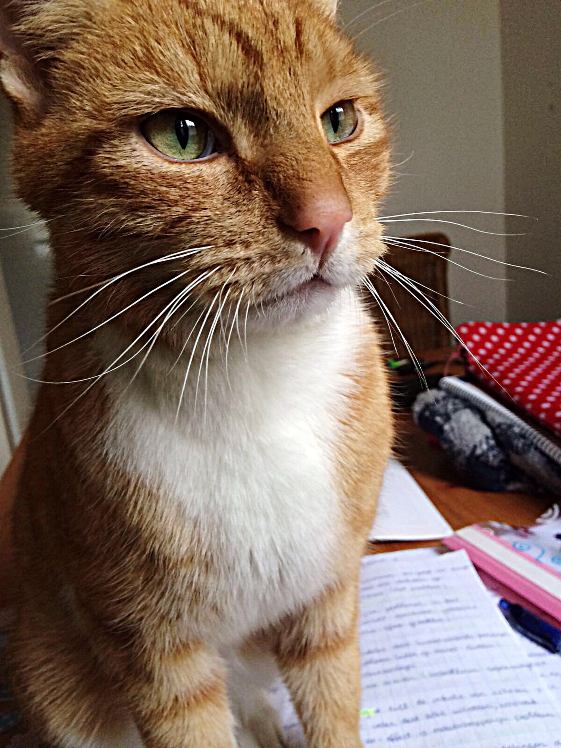 one animal, animal themes, pets, domestic cat, domestic animals, cat, feline, mammal, whisker, indoors, close-up, looking away, portrait, animal head, animal eye, alertness, sitting, staring, front view