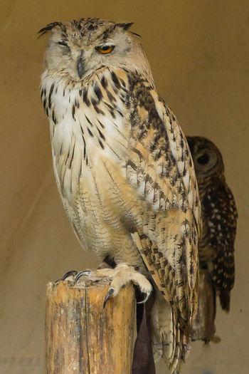 Uhu Jagd Nature Vogel Animal Wildlife Greifvogel Heikobo Krallen Schnabel Uhu Wildvogel