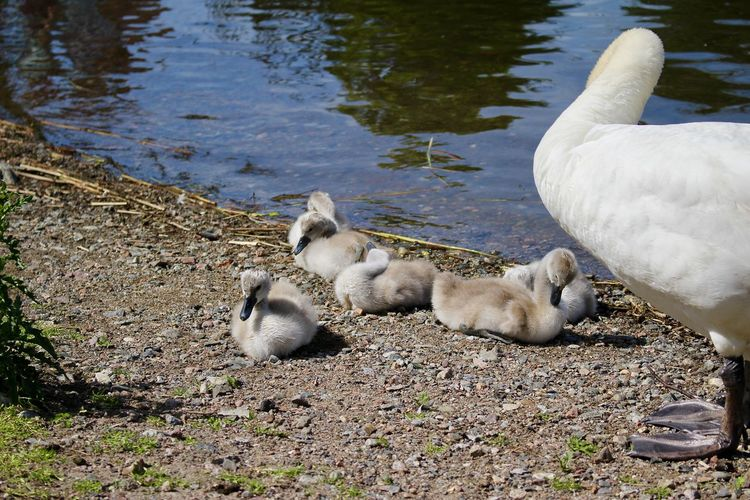 Animal Family Animal Themes Animal Wildlife Animals In The Wild Animals In The Wild Bird Bird Photography Birdcollection Birds Of EyeEm  Cygnet Day EyeEm Gallery High Angle View Lake Nature Nature Photography Outdoors Swan Babies Swans Togetherness Water Young Animal Young Bird