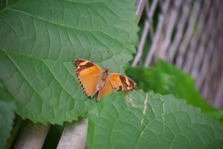 Animal Themes Animals In The Wild Beauty In Nature Butterfly - Insect Close-up Day Fragility Green Color Insect Leaf Nature No People One Animal Orange Color Outdoors Plant