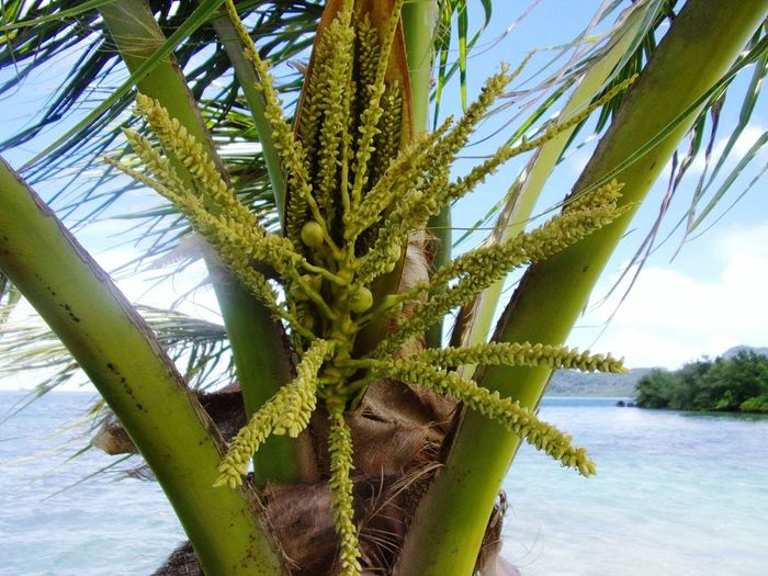 Coconut Palm Tree Baby Coconut Youngcoconut