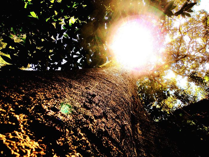 Sunlight Tree Trunk Gameleira Nature Chapada Diamantina Bahia Amazing Things Brazil