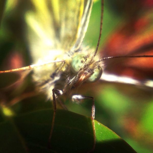 Butterfly. Macro Olloclip Insect