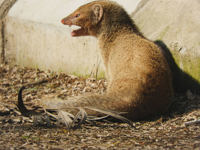 mongoose India Indian Wildlife Animal Animal Themes Herpestidae Mongoose Close-up Yawning Whisker Animal Mouth Animal Teeth Roaring Animal Nose Angry