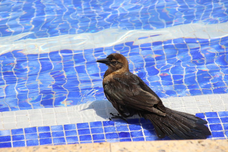 Animal Themes Badetag Beauty In Nature Bird Grackel Nature One Animal Outdoors Water