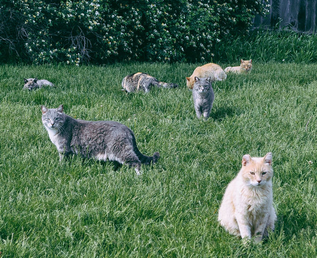 A bunch of cats hanging out in a yard Cats Of EyeEm Outdoor Cats Animal Themes Cats Day Domestic Animals Domestic Cat Field Grass Green Color Looking At Camera Mammal Many Cats Nature No People Outdoors Pets Portrait Stray Cat Wild Cat Young Animal