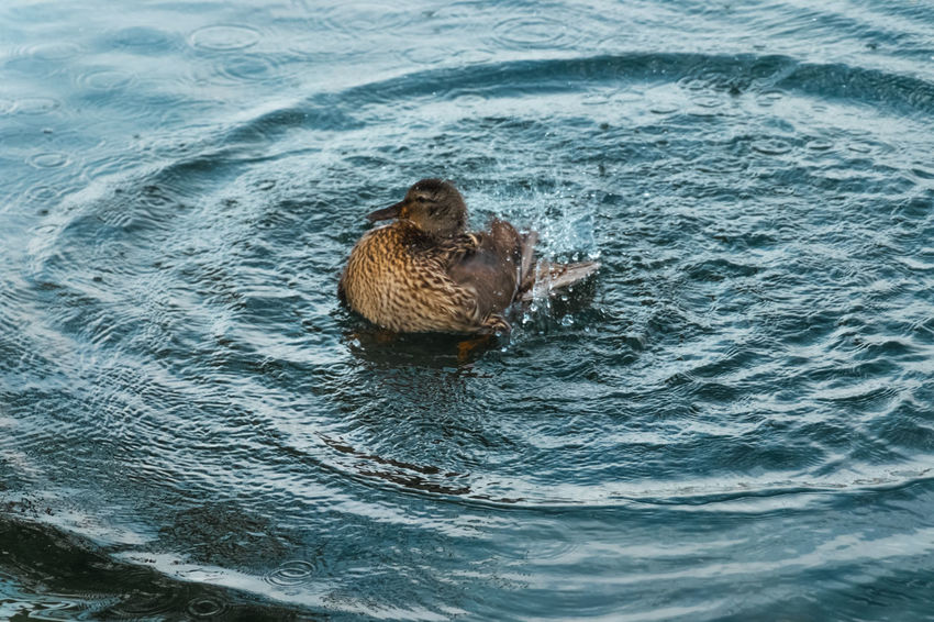 Splashes and waves. Bathing Feathers Animal Animal Head  Animal Themes Animal Wildlife Animals In The Wild Bird Day Female Duck High Angle View Mammal Motion Nature No People One Animal Ornithology  Outdoors Rippled Sea Splashing Swimming Vertebrate Water Waterfront Waves, Ocean, Nature