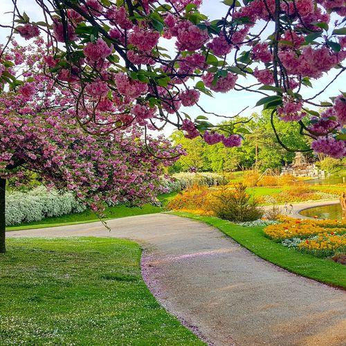 #cerisiersdujapon #parcfloral #soleil🌞 #boisdevincennes #paris #printemps #avril #parismaville #parismonamour #parisienne Cerisiersdujapon Parcfloral SOLEIL🙏 Boisdevincennes Paris Printemps Avril Parismaville Parismonamour Parisienne Tree Sky Grass Green Color