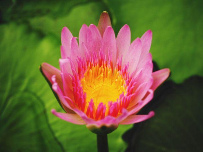 Water Lily Flower Purple Plant Shingle Leaf