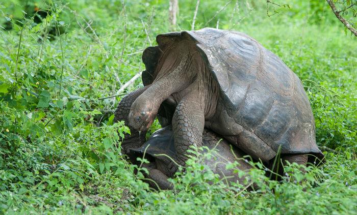 Galapagos Giant Tortoise Mating