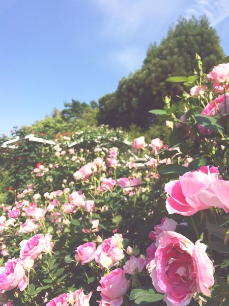Taking Photos Fine Day Enjoying The Sun Picking Flowers  Roses