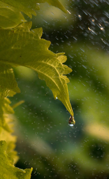 Coleus Water Droplets Water Drop Rain Raining Nature Leaf Beauty In Nature Close-up EyeEm Best Shots EyeEm Nature Lover Eye4photography  Calm And Serene Beauty In Nature Plants Plants 🌱